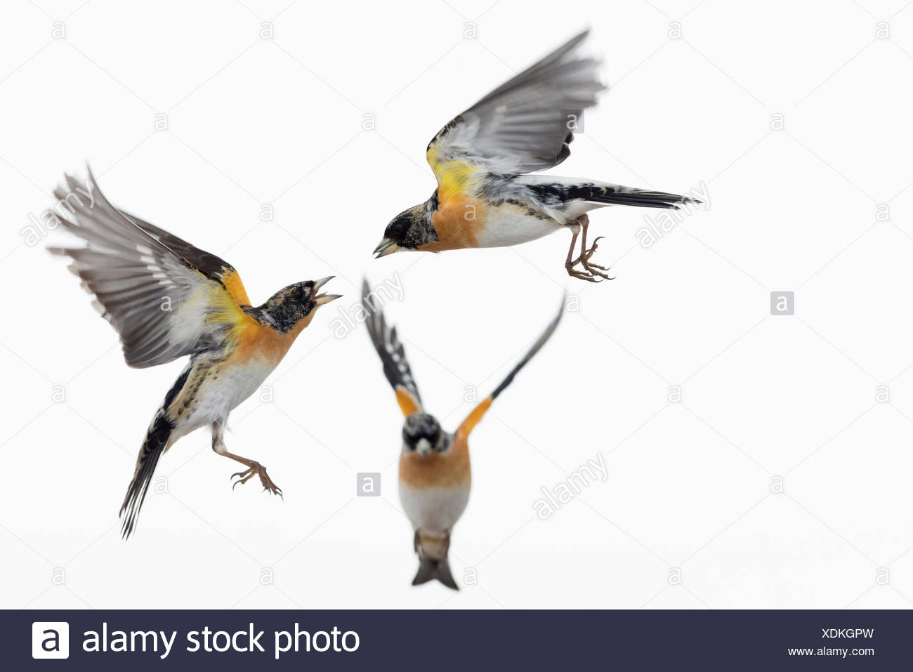Male brambling, Fringilla montifringilla, birds fighting. - Stock Image
