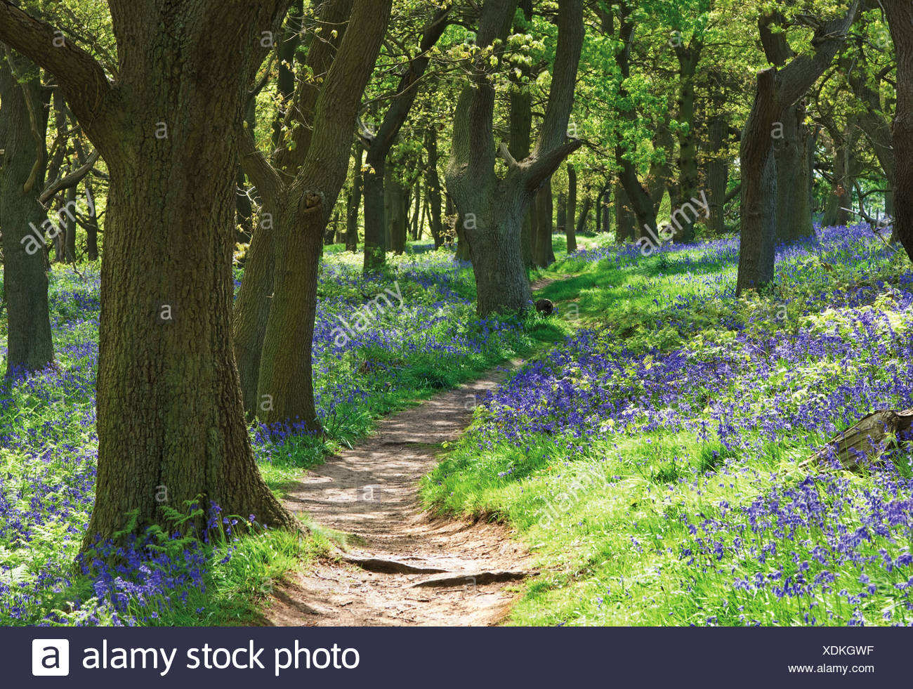 Hyacinthoides non-scripta, Bluebell wood - Stock Image