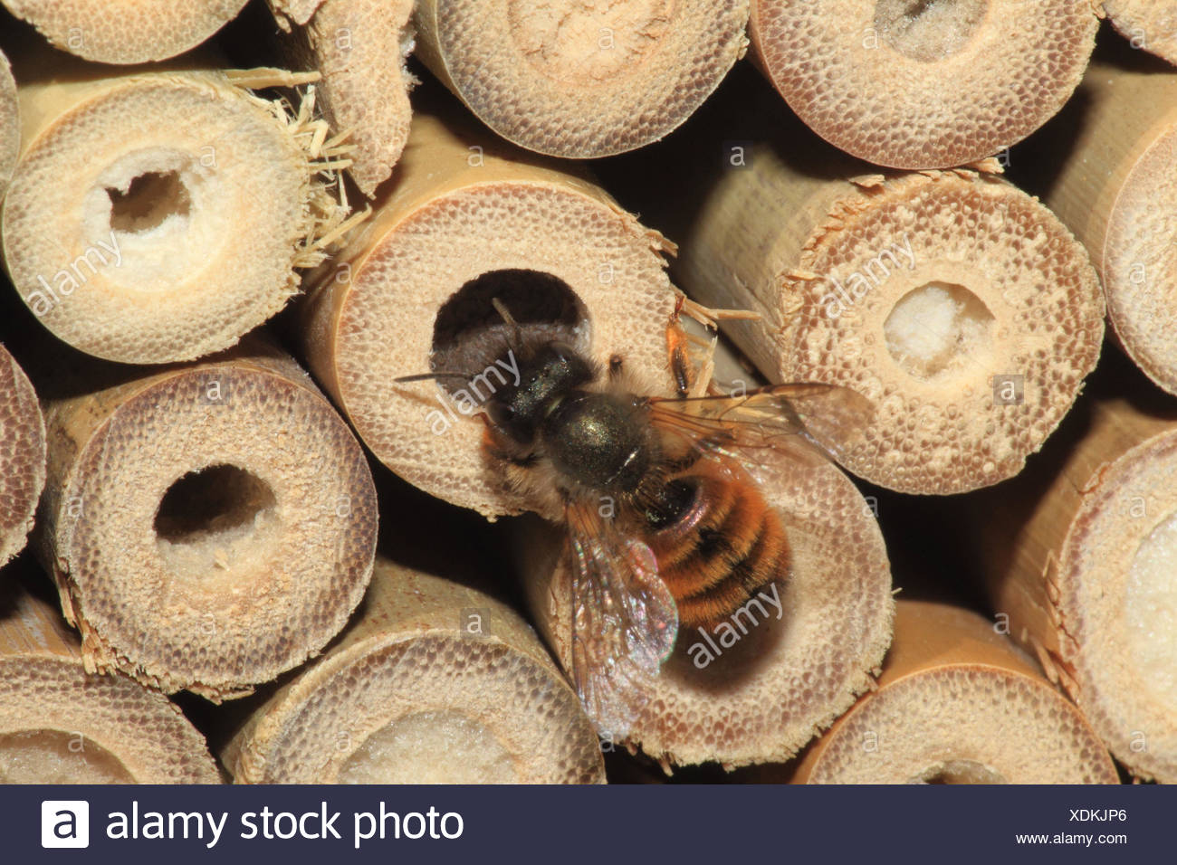 Defensive wall bee, brood pit, medium close-up, landscape format, insect, animal, wild animal, insect house, bee, Germany, - Stock Image