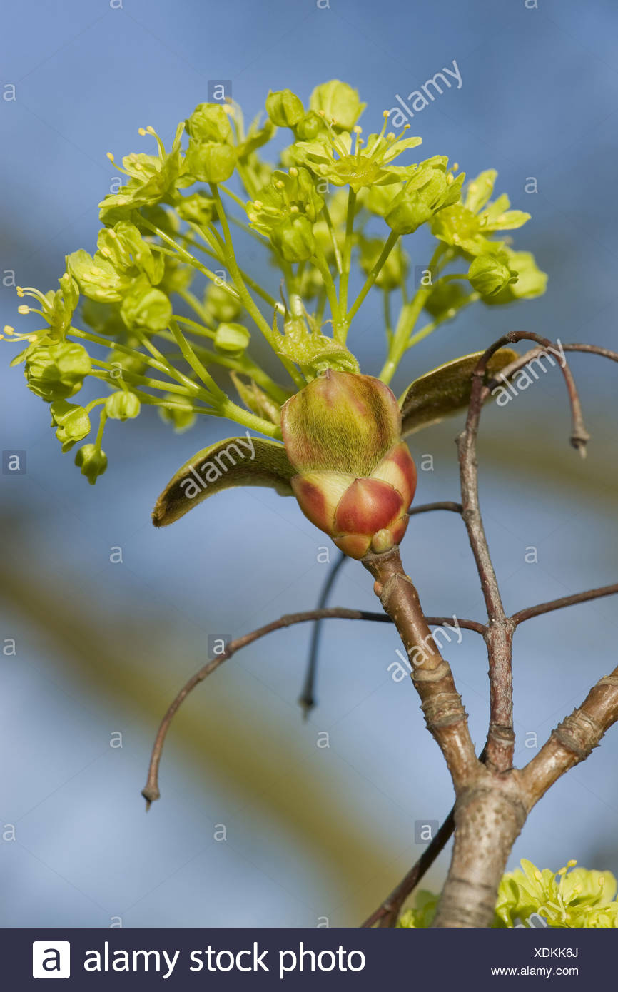 norway maple, acer platanoides - Stock Image