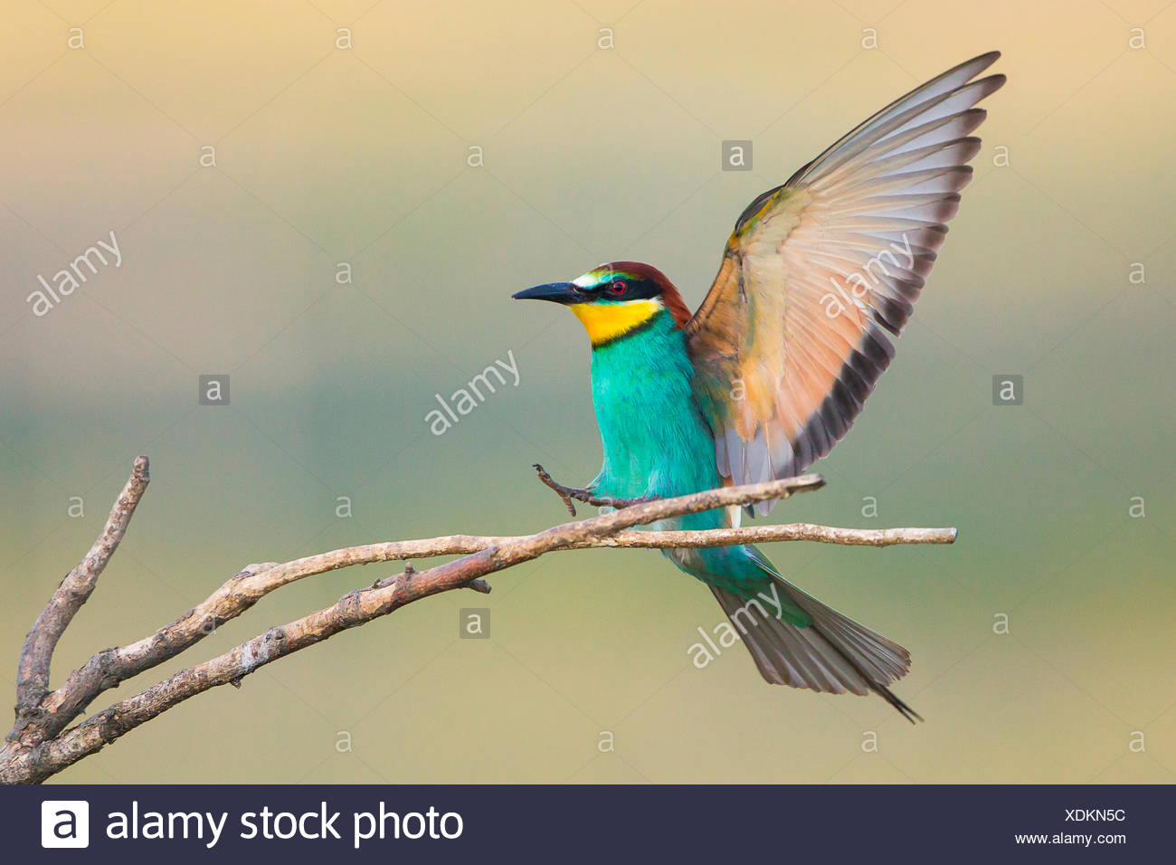 Bee-eater (Merops apiaster) approaching twig, Burgenland, Austria - Stock Image