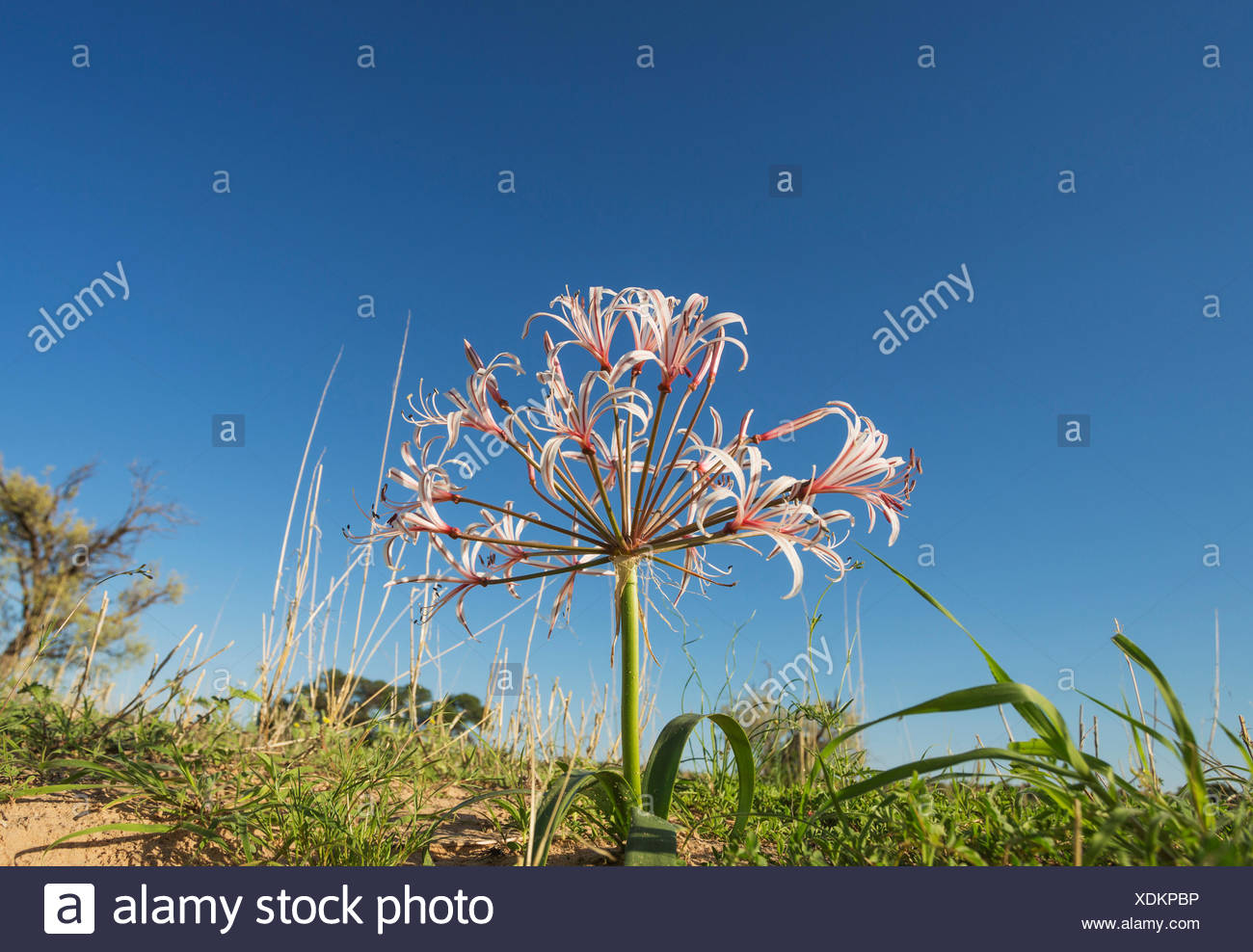 Nerine (Nerine laticoma). Blooms during the summerly rainy season. - Stock Image