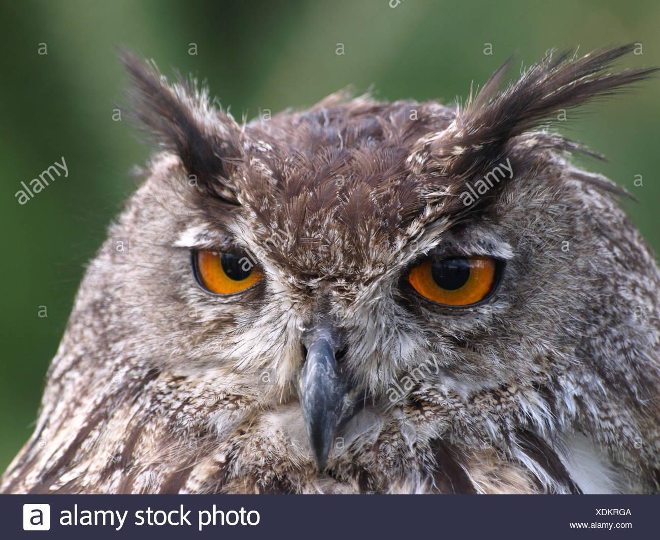 eagle owl Stock Photo