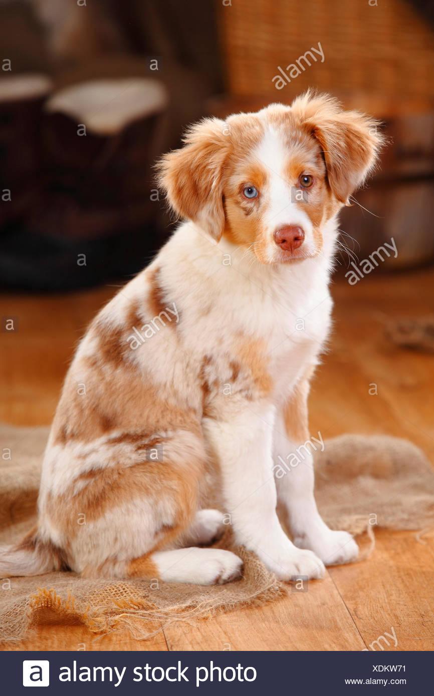 Miniature Australian Shepherd Puppy Red Merle Stock Photo Alamy