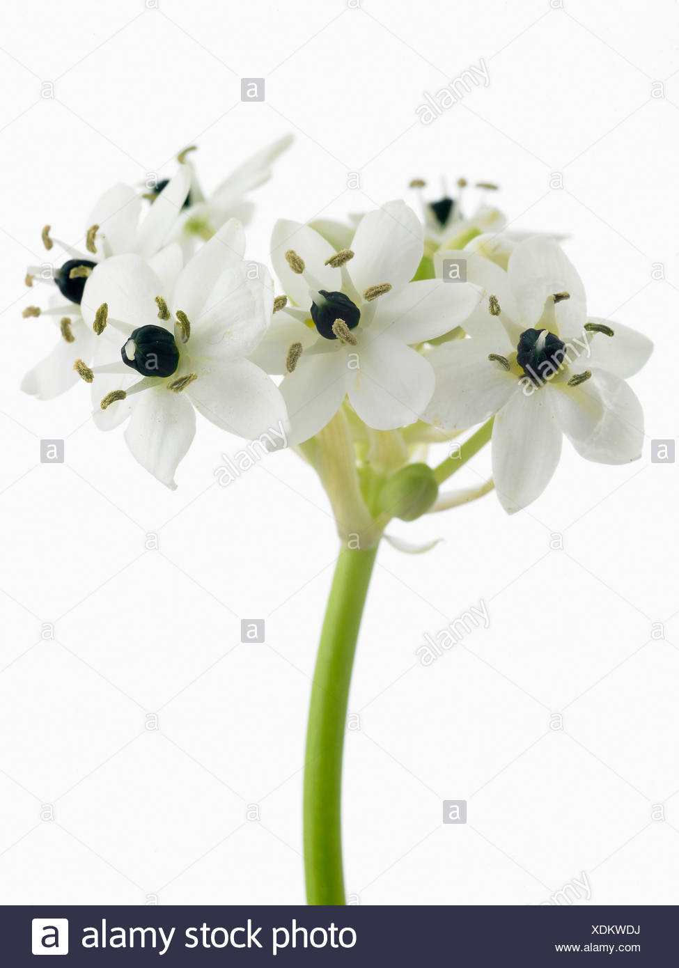White flowers on single stem against a white background cutout stock ornithogalum arabicum star of bethlehem white flowers on single stem against a white background mightylinksfo