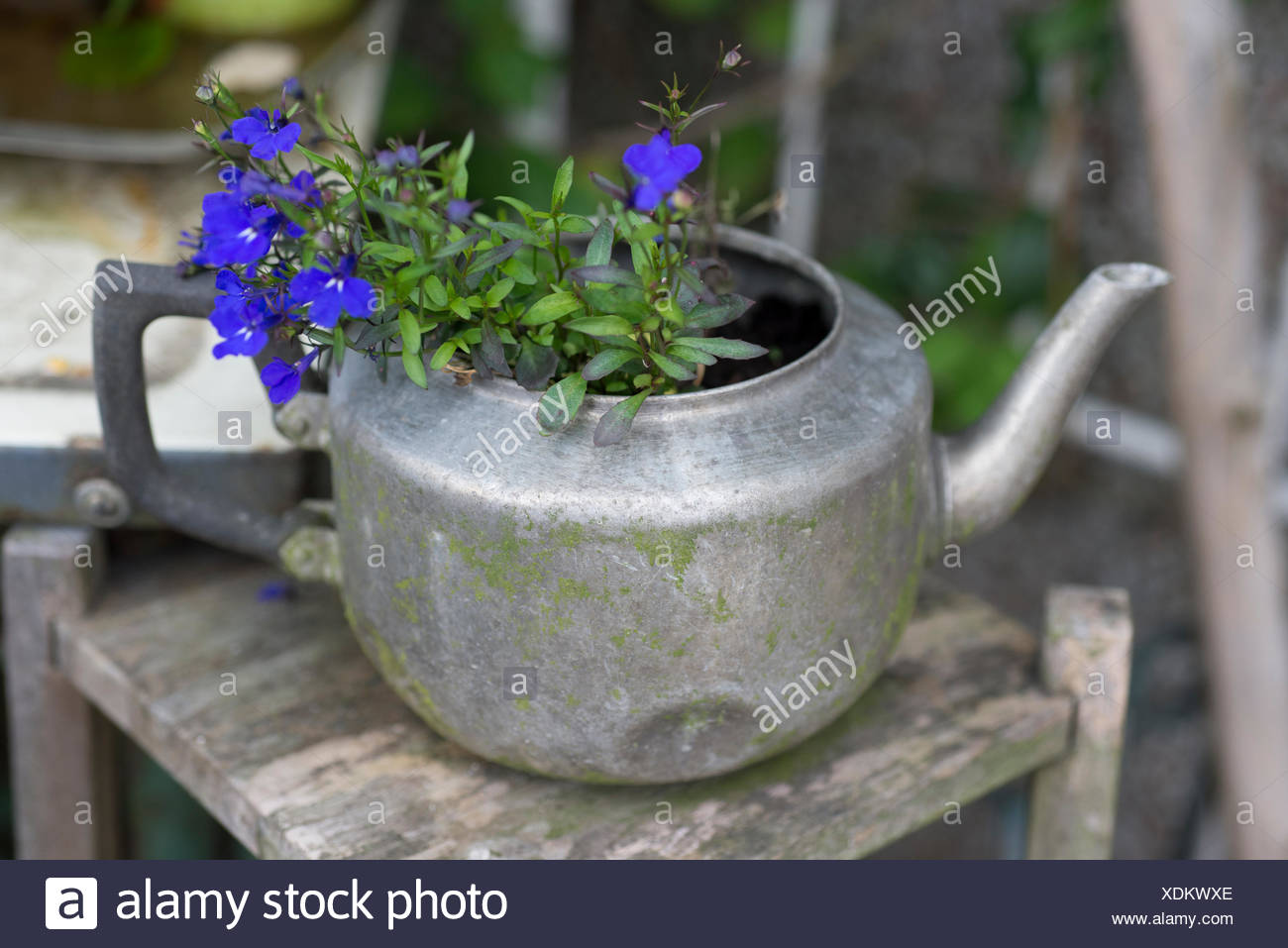flowering teapot purple flowers - Stock Image