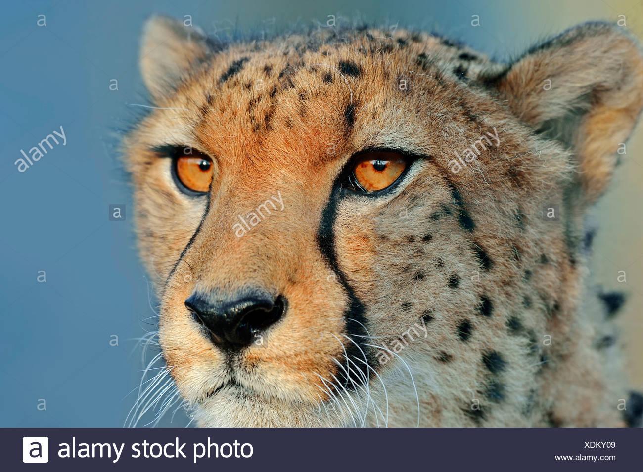 Cheetah (Acinonyx jubatus), portrait, native to Africa, in captivity - Stock Image