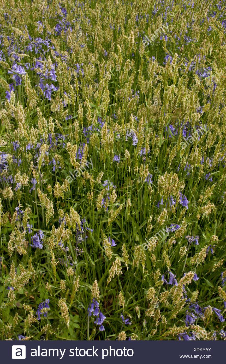 Sweet Vernal Grass Anthoxanthum odoratum Bluebell Endymion non-scriptus flowering growing woodland Garston Wood RSPB Nature - Stock Image