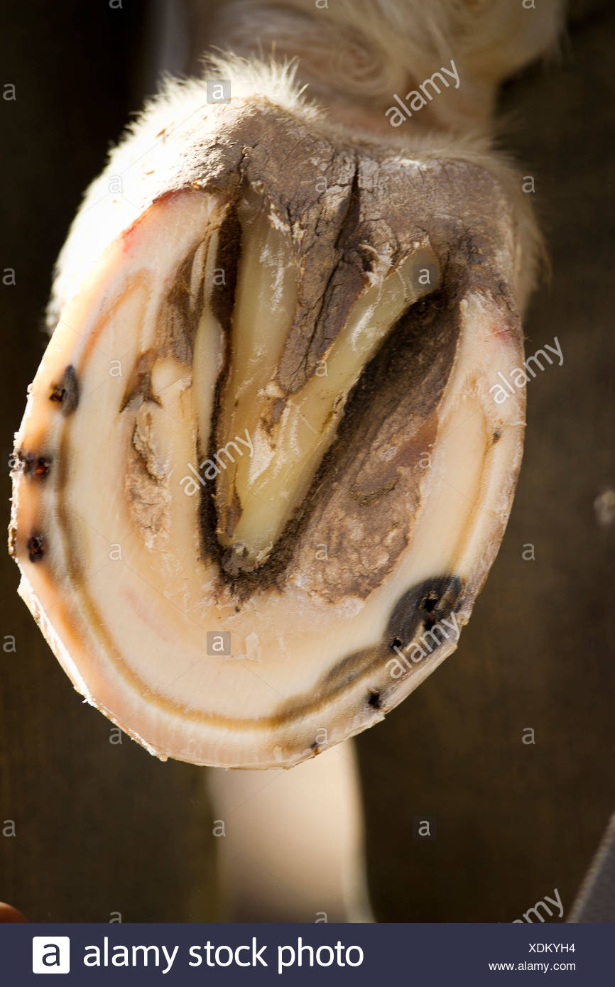 Domestic horse. Trimmed and shaped foot - Stock Image