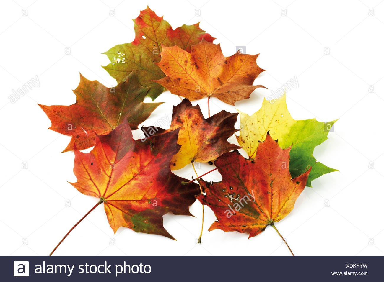 Autumn-colored maple leaves Stock Photo