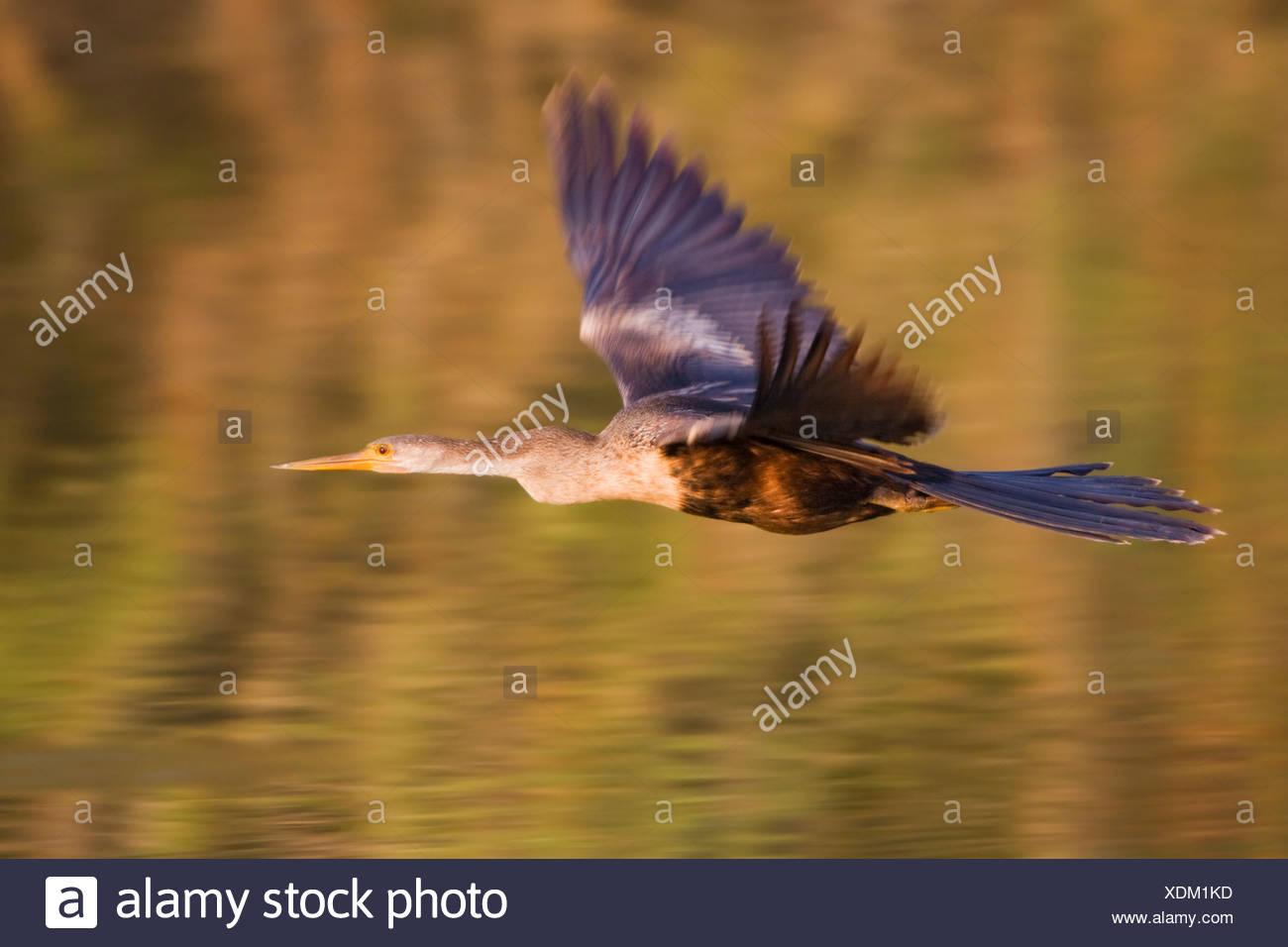 Anhinga (Anhinga anhinga) in mid-flight at Estero Llano Grande State Park in Texas - Stock Image