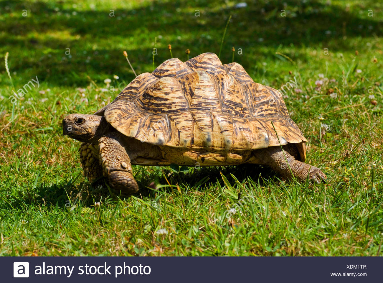 leopard tortoise (Geochelone pardalis), walking in a meadow - Stock Image