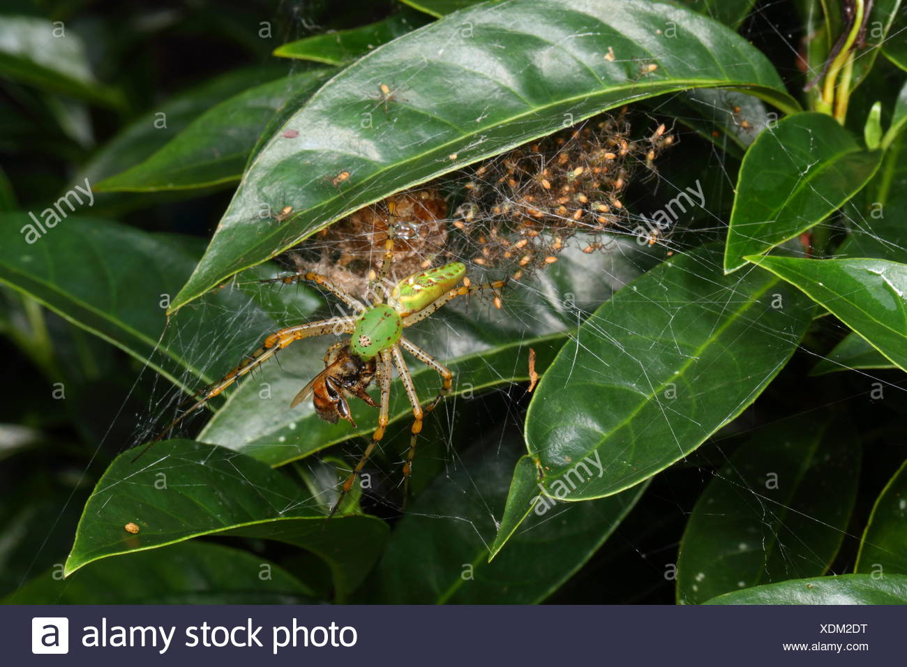 A green lynx spider with babies, Peucetia viridans, preying on a honey bee. Stock Photo