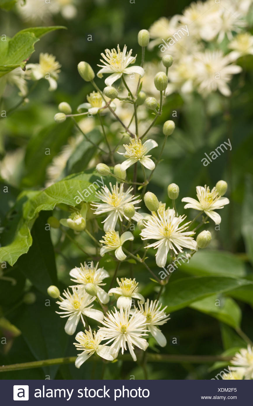 Old Man s Beard evergreen clematis Clematis vitalba Germany - Stock Image