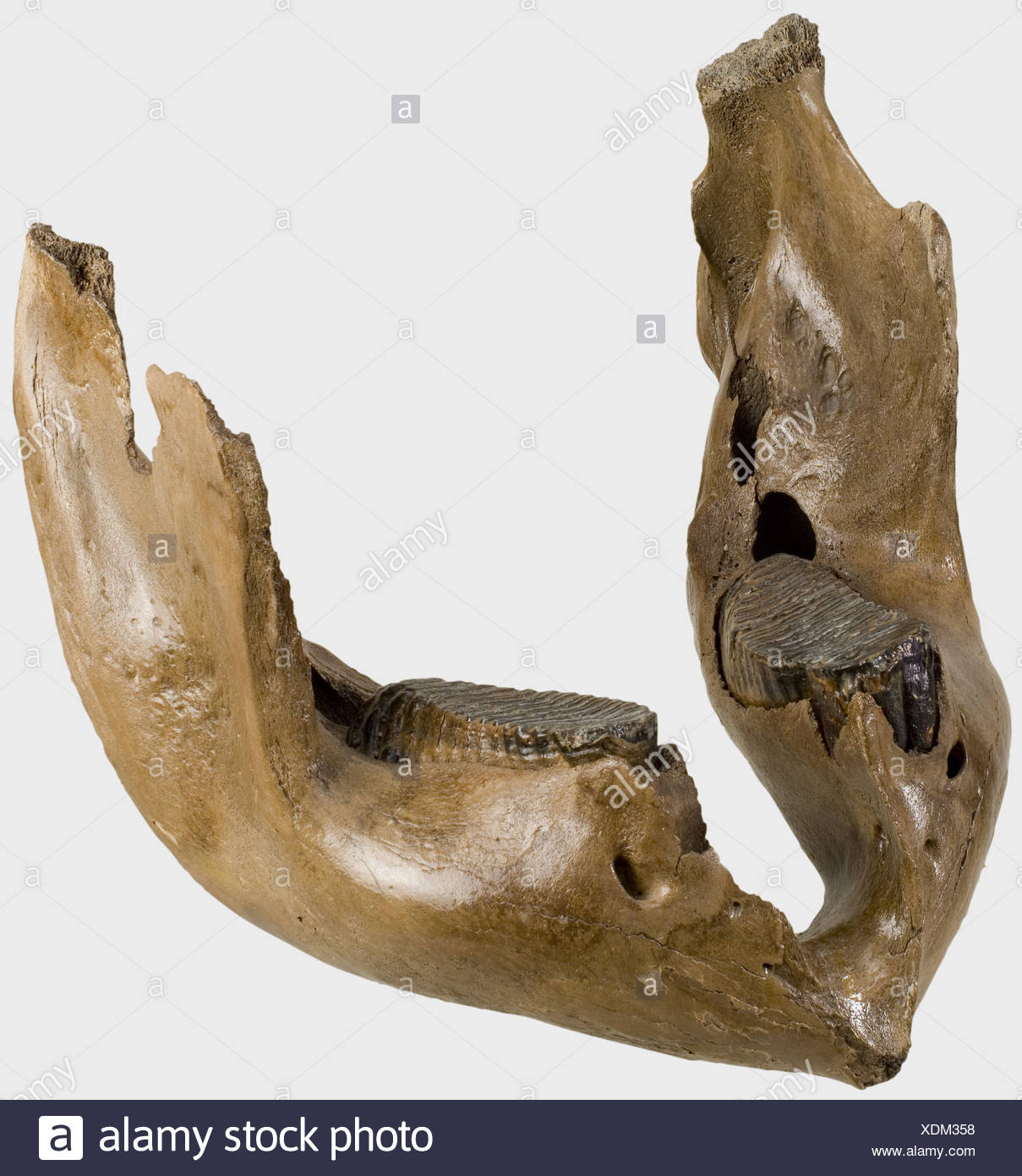 A mammoth's lower jaw, age approximately 20,000 years BP. Fossilised lower jaw bone with massive molars. Traces of abrasion in the region of the joint, somewhat cracked in places. Width 48 cm. Weight 12.6 kg. Contrary to accepted opinion, the mammoth (Mammuthus primigenius) is not the ancestor of the modern African or Indian elephant, but merely related. historic, historical, prehistory, handicrafts, handcraft, craft, object, objects, stills, clipping, clippings, cut out, cut-out, cut-outs, fine arts, art, artful, Additional-Rights-Clearences-NA - Stock Image