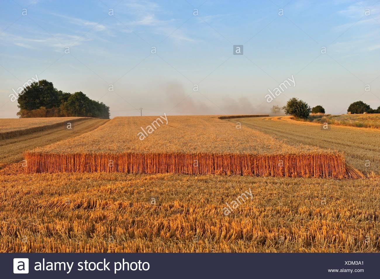 moisson, departement Eure-et-Loir, region Centre-Val de Loire, France, Europe/harvesting, Eure-et-Loir department , Centre-Val de Loire region, - Stock Image