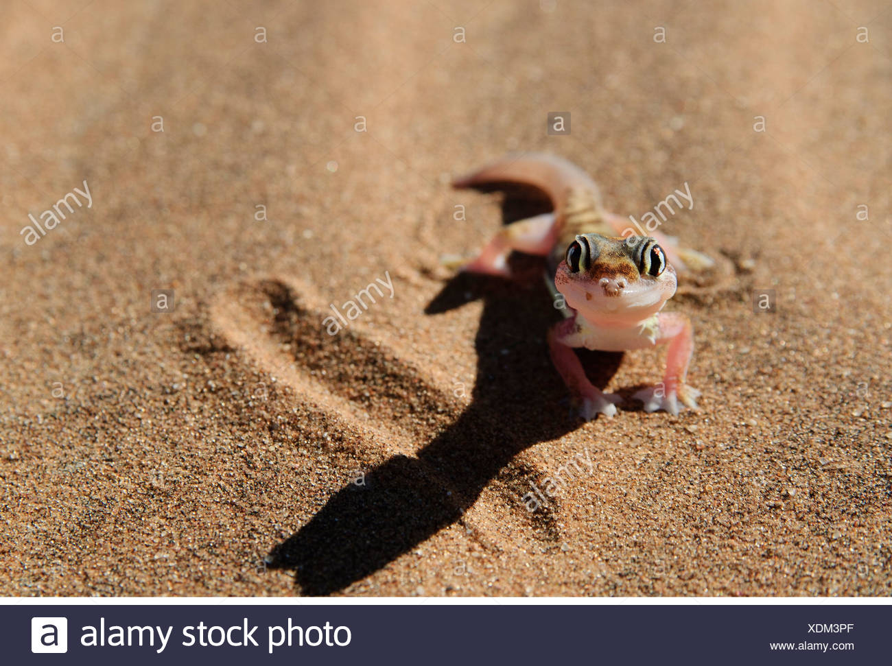 zoology / animals, reptiles, gecko, Web-footed gecko, (palmatogecko rangei), desert, Namib, Namibia, Africa, Additional-Rights-Clearance-Info-Not-Available Stock Photo