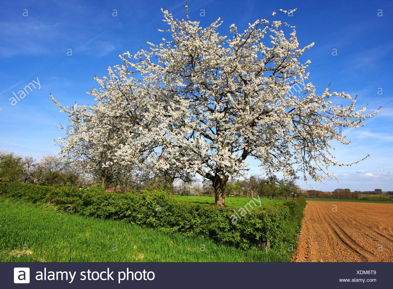 Cherry tree, Sweet cherry (Prunus avium), flowering cherry tree in field scenery, Belgium, Ardennes Stock Photo