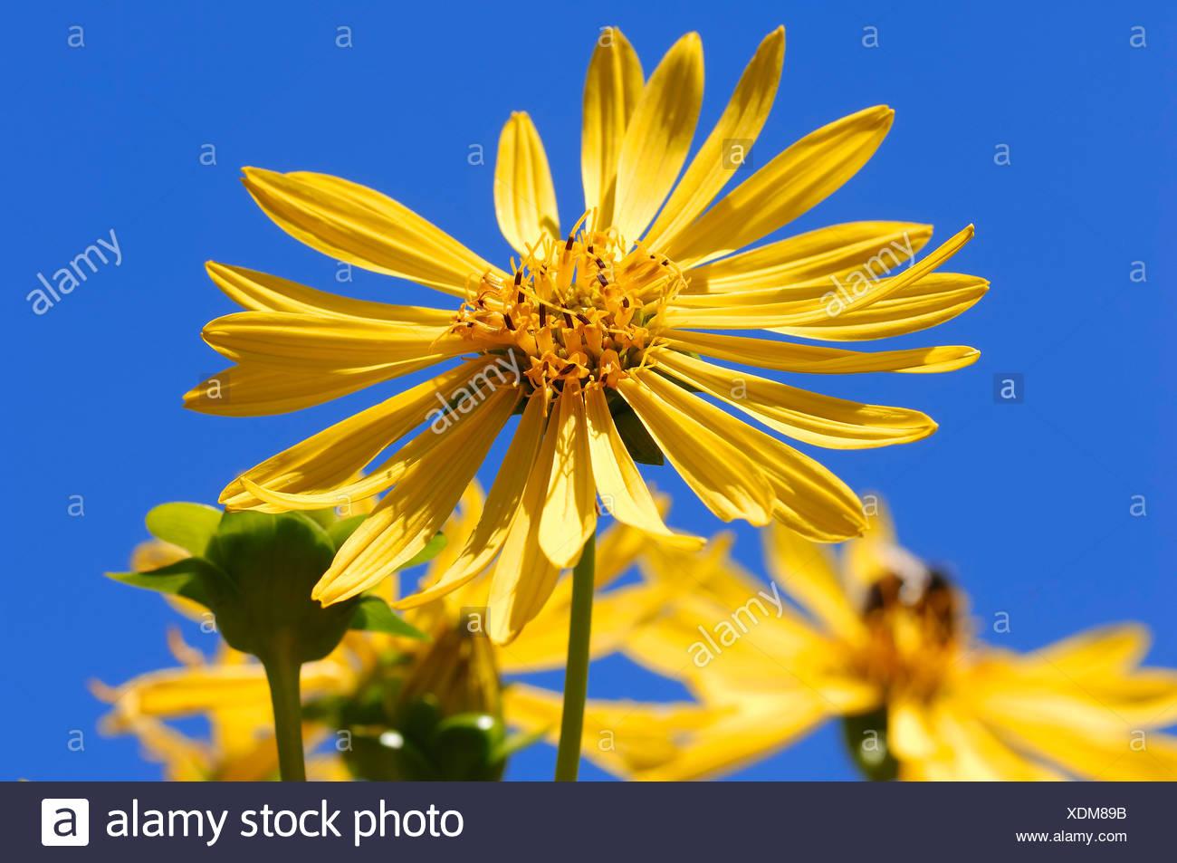 Jerusalem Artichoke, sunroot, sunchoke, earth apple or topinambour (Helianthus tuberosus), flower, occurrence in North America - Stock Image