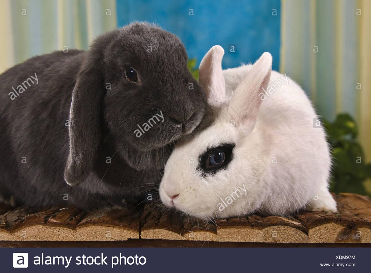 dwarf rabbit (Oryctolagus cuniculus f. domestica) aa8856f39