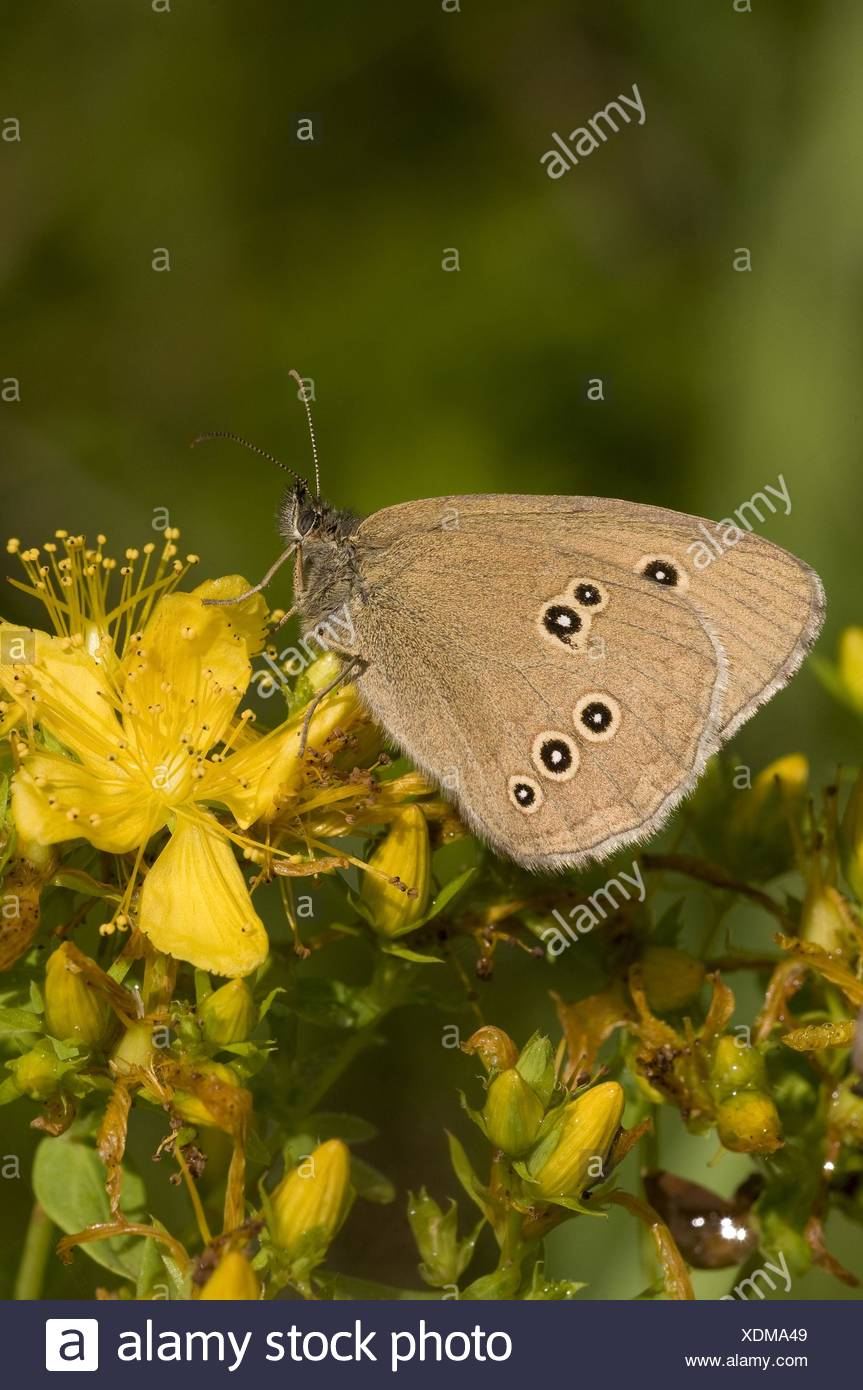 brown butterfly - Stock Image