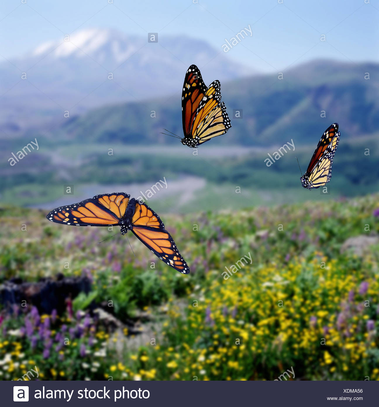 Monarch butterflies (Danaus plexippus) migrating Digital composite, captive. - Stock Image