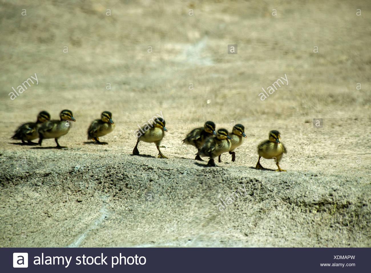 mallard ducklings, duck, animals, birds - Stock Image