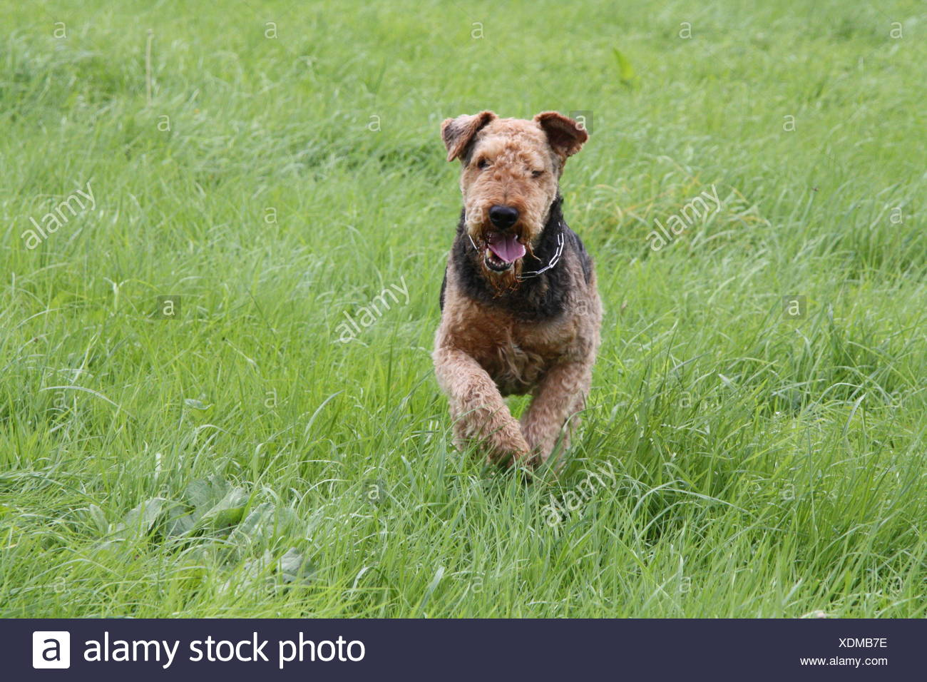 airedale terriers - Stock Image
