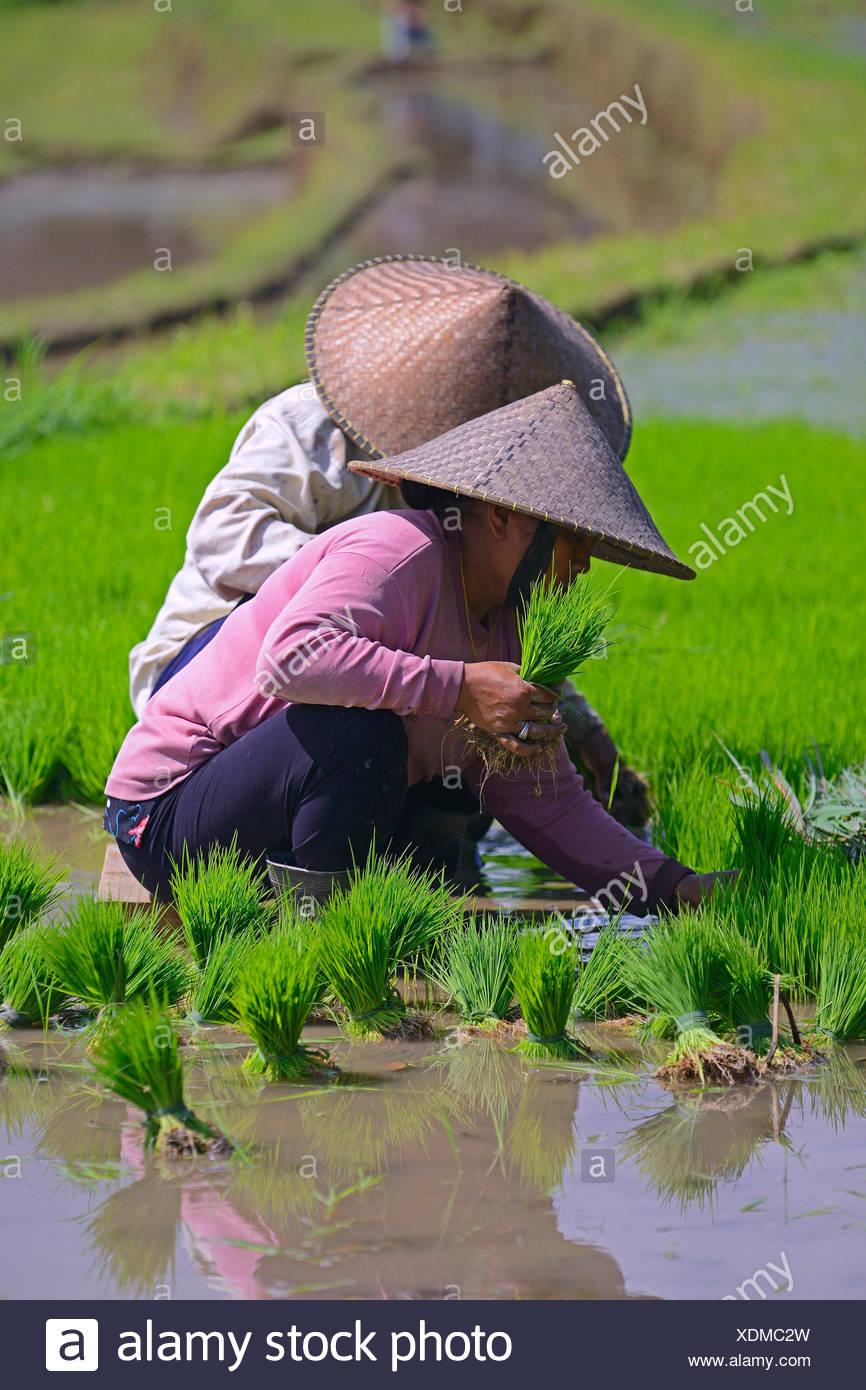 Frauen sortieren Reissetzlinge an den Reisterrassen von Jatiluwih, Indonesien, Bali | women with rice seedlings in the rice fiel - Stock Image