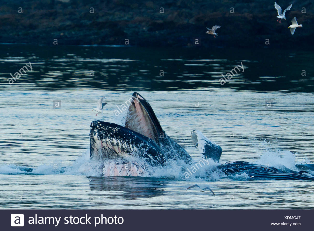 A humpback whale rises out of the ocean to feed. - Stock Image