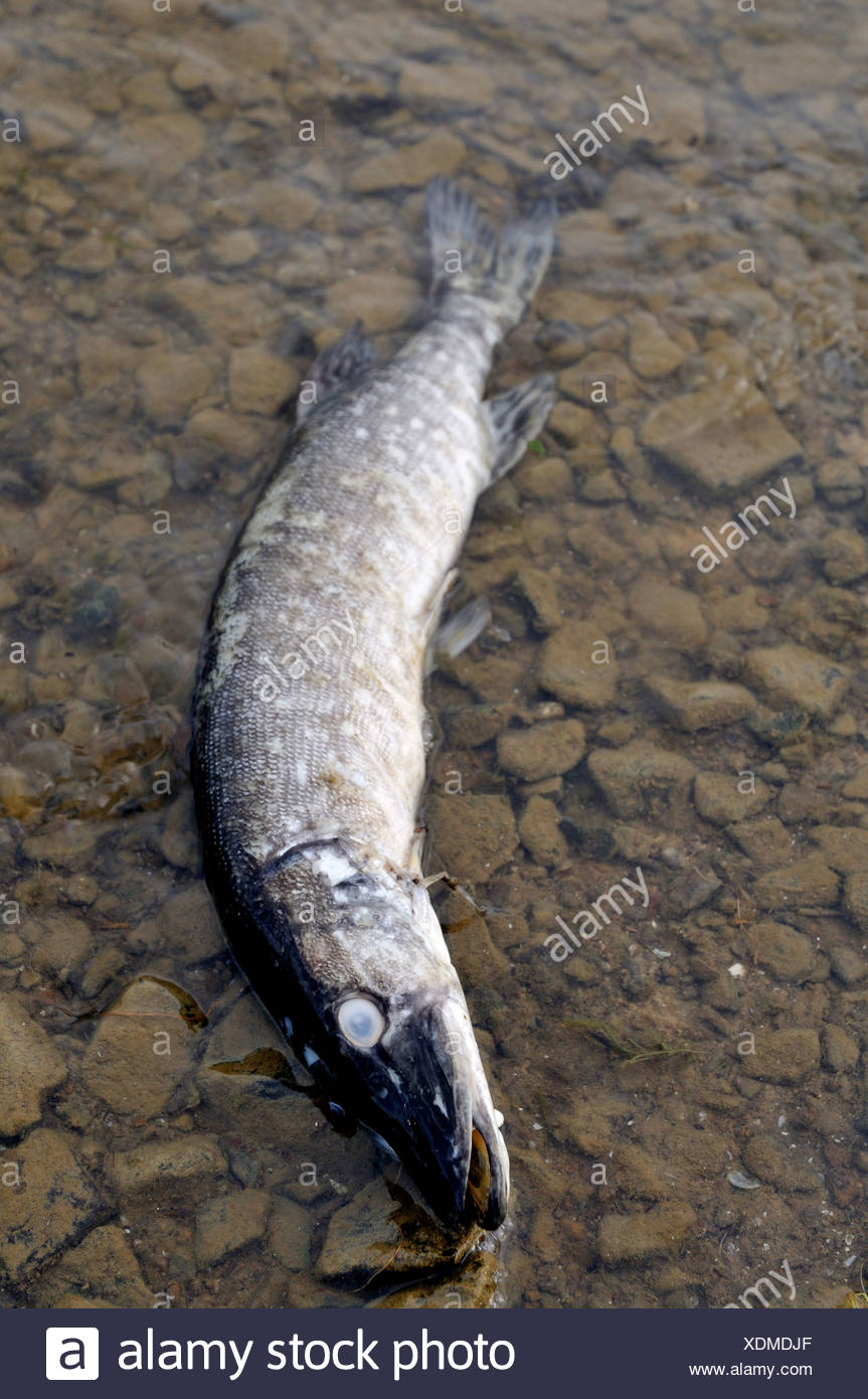 pike, northern pike (Esox lucius), lying dead in shallow water - Stock Image