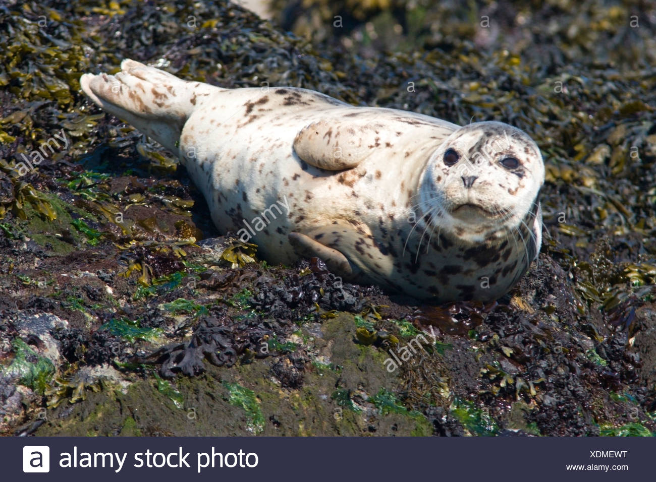 Fur seal (Callorhinus ursinus) basking on rocks near Victoria, Vancouver Island, British Columbia, Canada - Stock Image