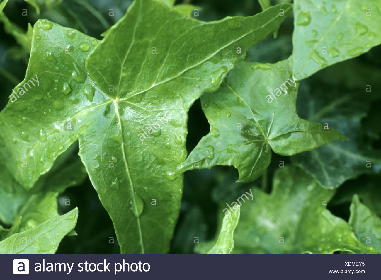 English ivy, common ivy (Hedera helix 'Miss Moror', Hedera helix Miss Moror), cultivar Miss Moror - Stock Image