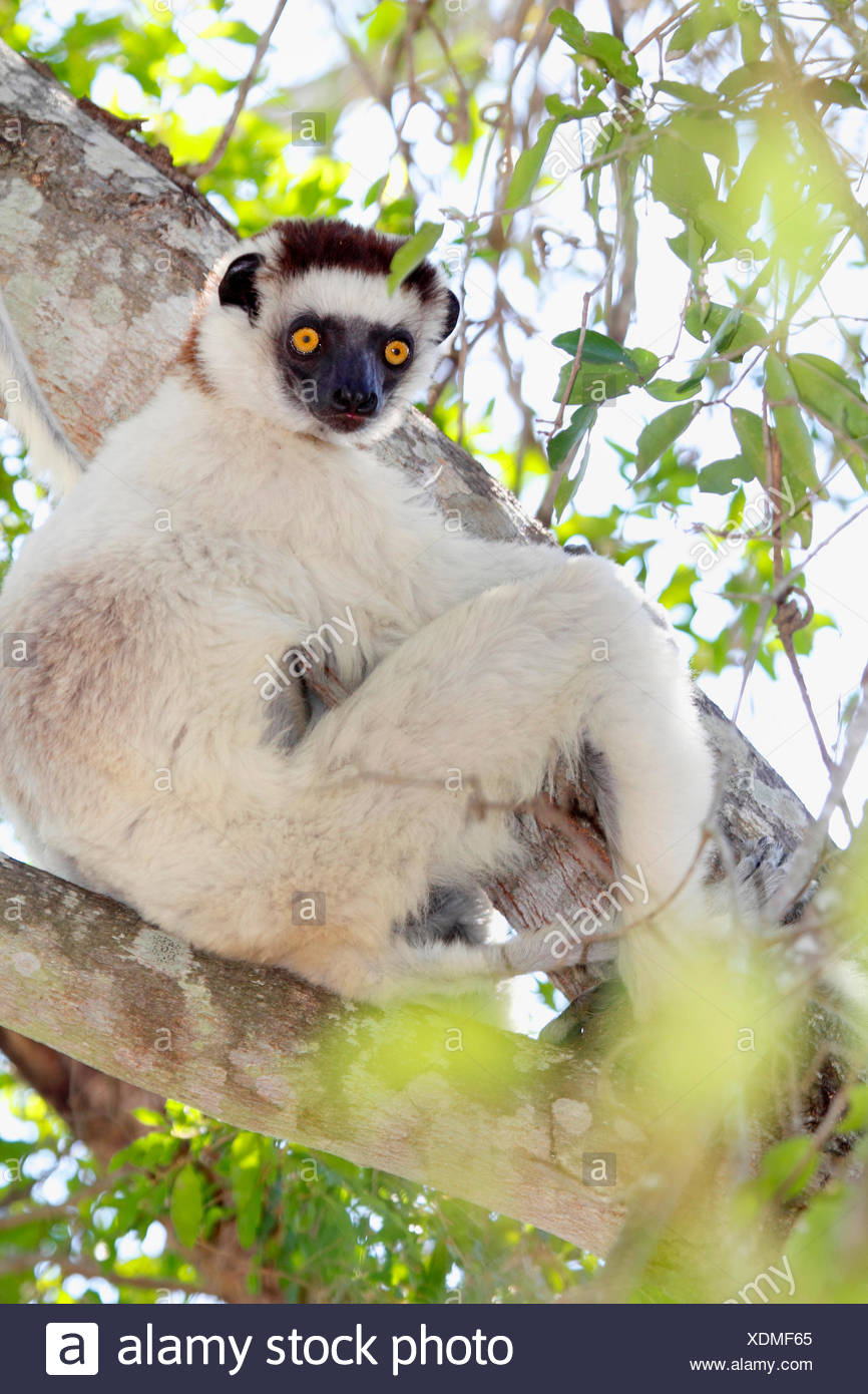 Verreaux's sifaka (Propithecus verreauxi), sitting on a branch and looking down, Madagascar, Isalo National Park - Stock Image