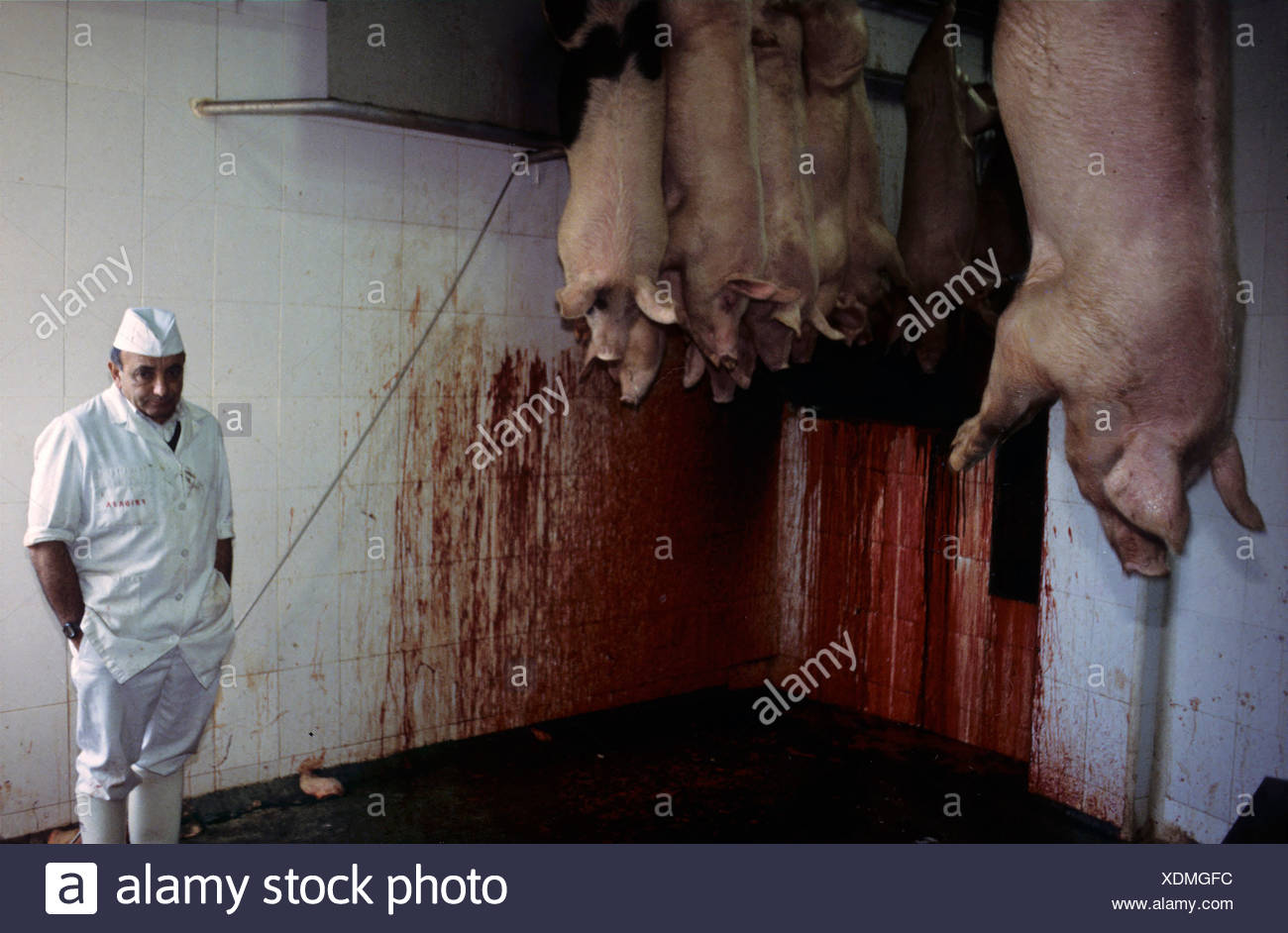 Pig carcasses hanging in a slaughter house. - Stock Image