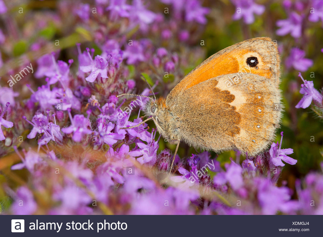 small heath (Coenonympha pamphilus), visiting thyme flowers, Germany - Stock Image