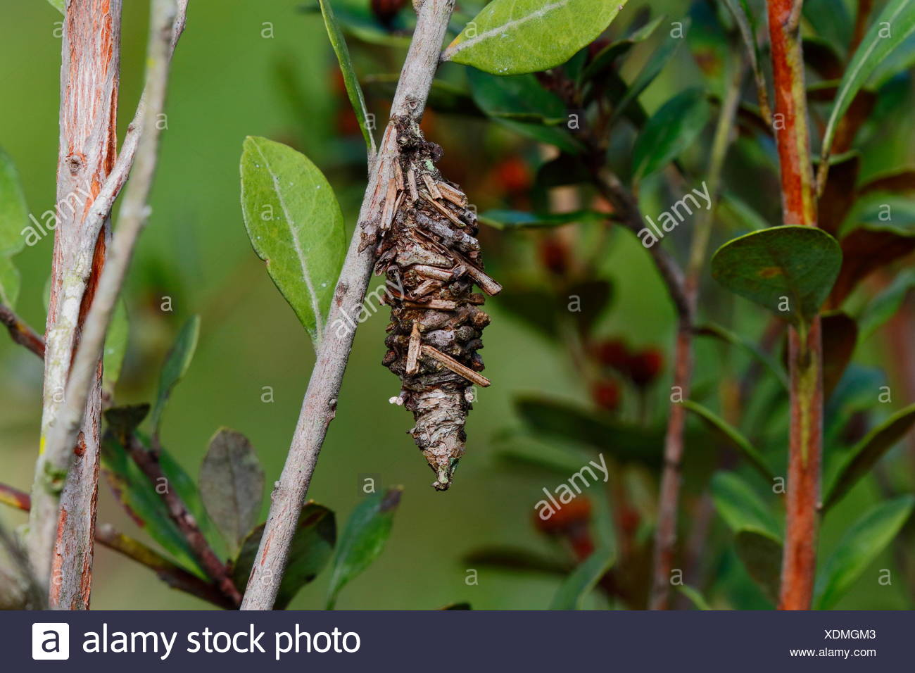 A bagworm moth, Psychidae, uses plant material to construct its bag. - Stock Image