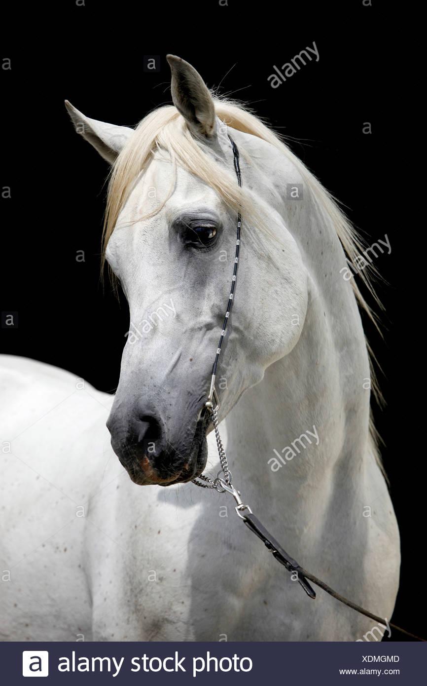 Arabian Horse Portrait Stock Photo Alamy