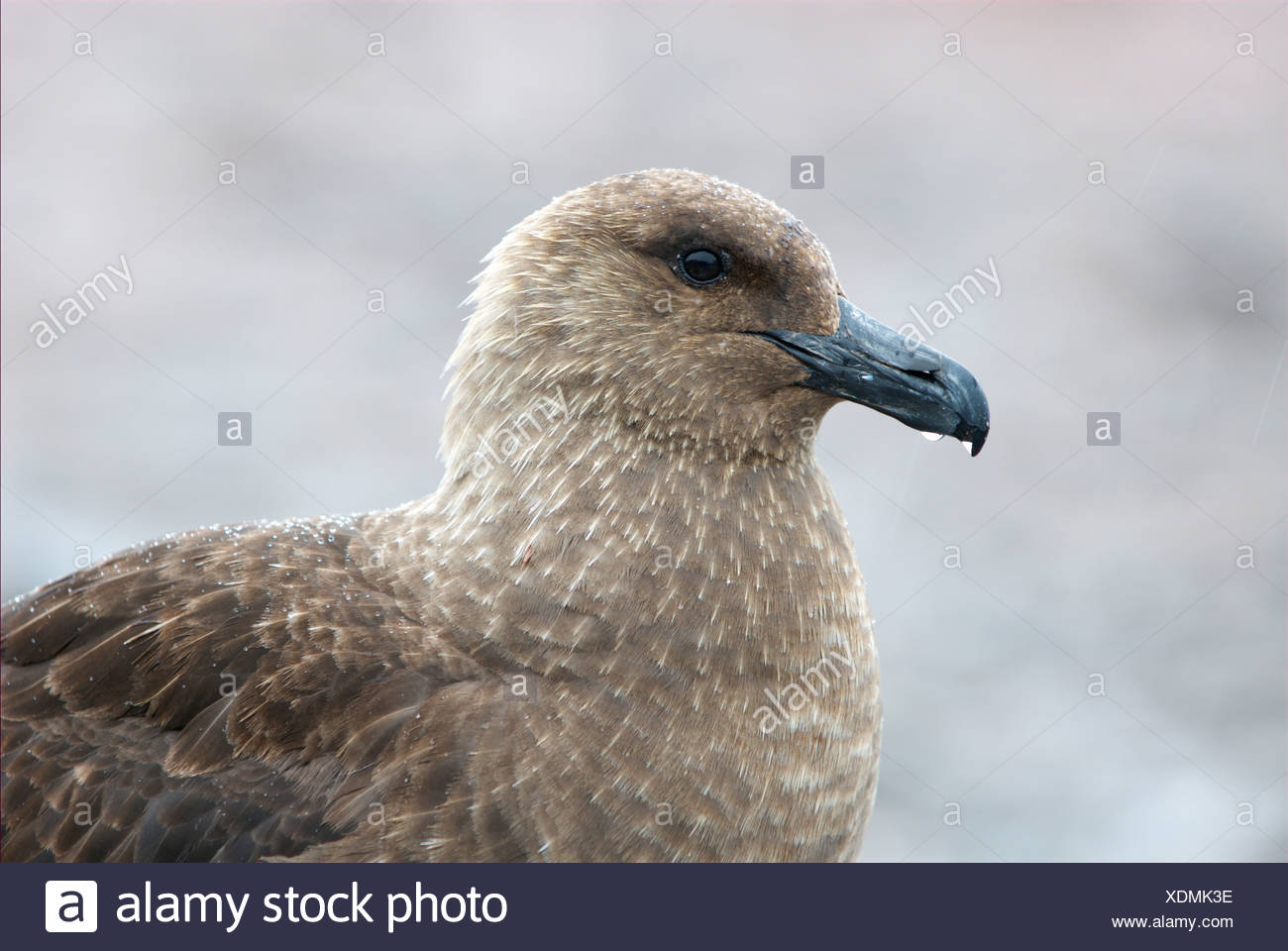 Side view of a brown sub Antarctic skua - Stock Image