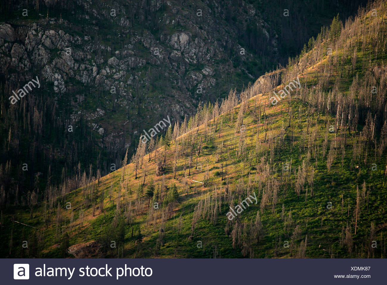 Dead pines cover a steep slope on the shores of Lake Chelan in Chelan County, northern Washington State. - Stock Image