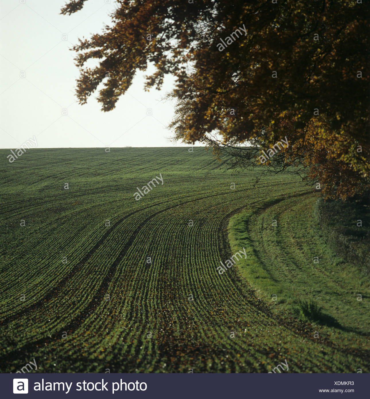 Headland beech tree and drill rows of young seedling wheat in autumn Hampshire - Stock Image
