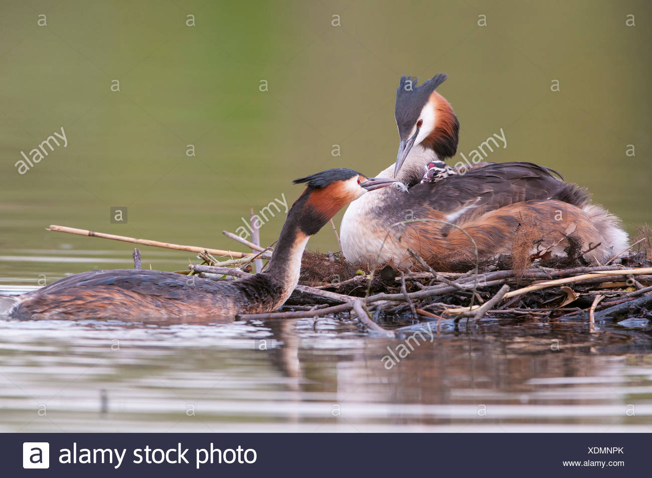great crested grebes, podiceps cristatus Stock Photo