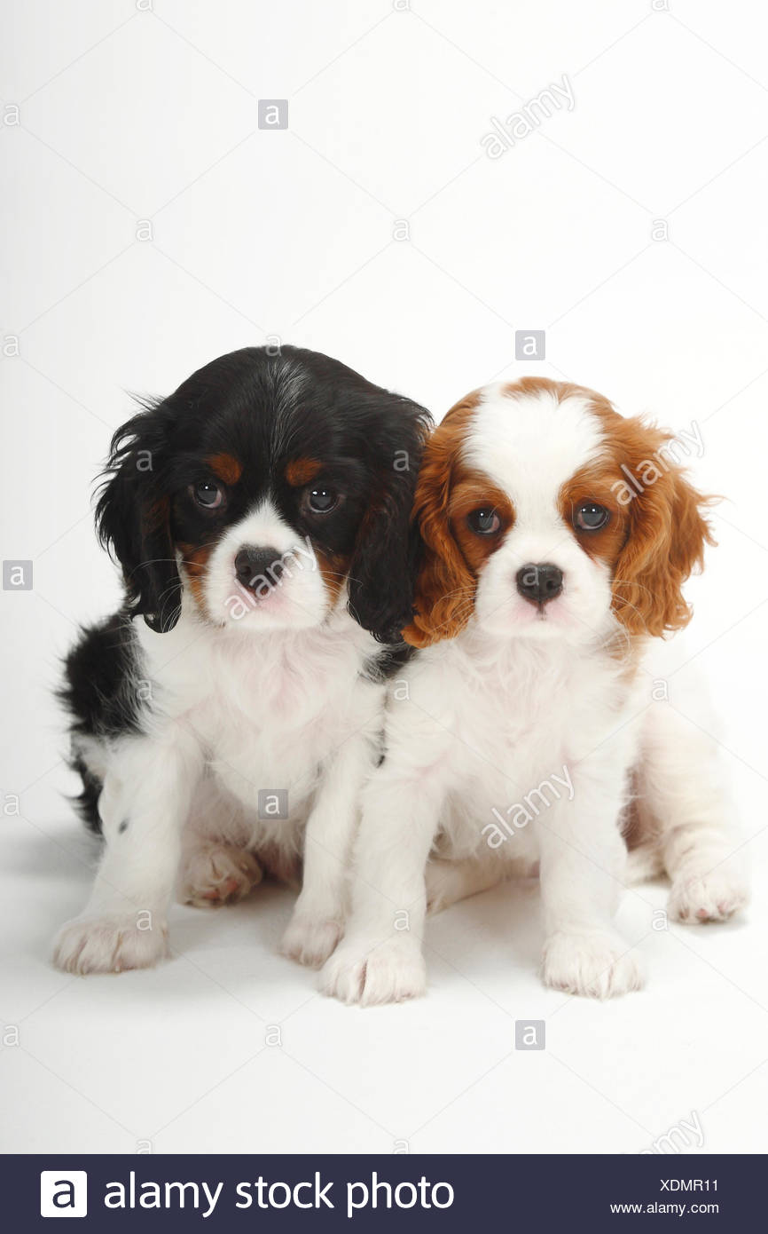 Two Cavalier King Charles Spaniel Puppies Blenheim And Tricolour 9 Weeks Sitting Stock Photo Alamy