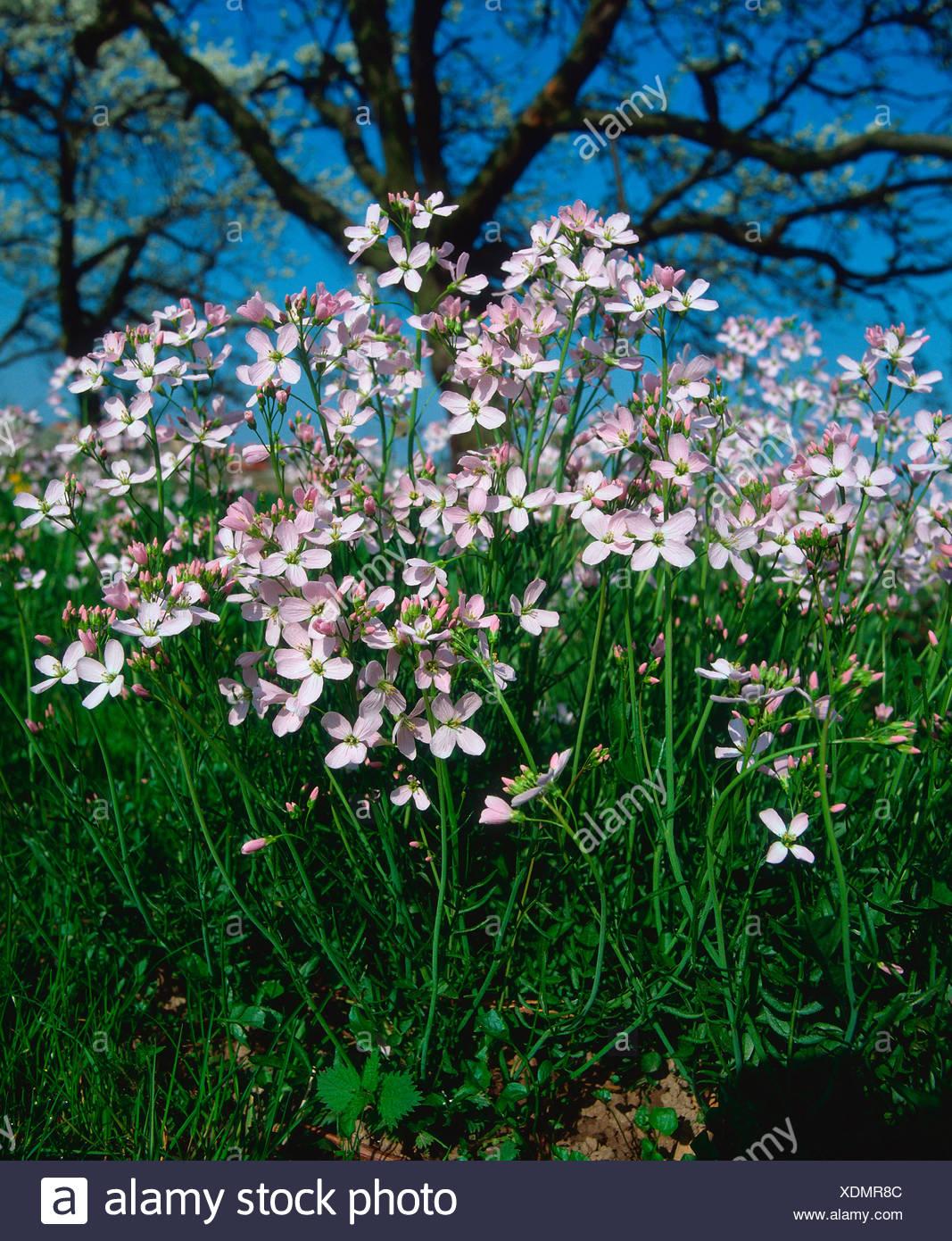 Cuckoo Flower Stock Photo