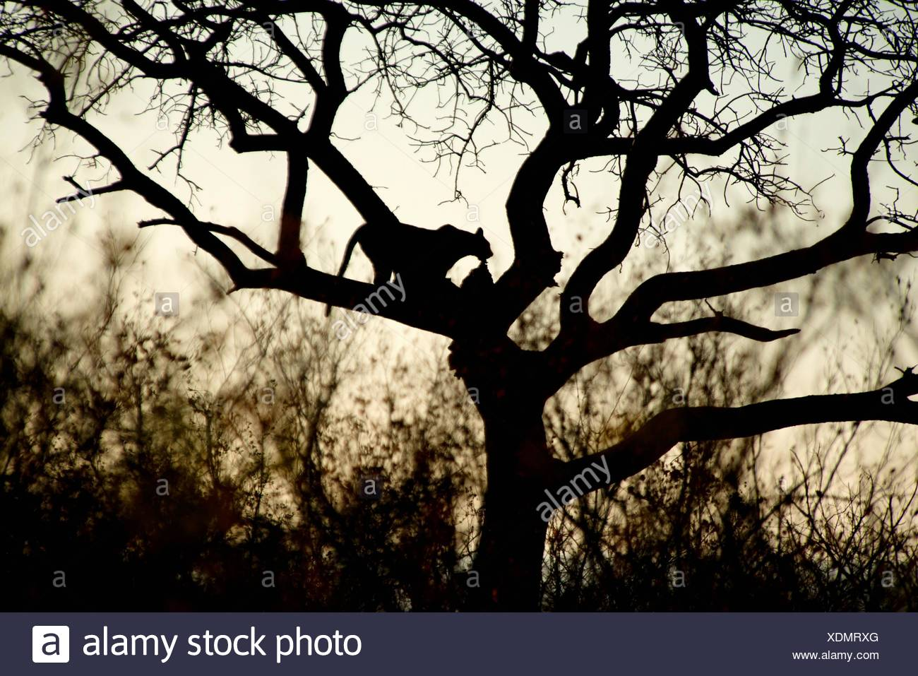 Leopard (Panthera pardus) silhouetted up tree with kill, Kruger National Park, Transvaal, South Africa. - Stock Image