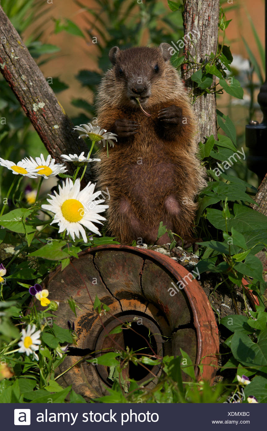 Young woodchuck (Marmota monax) sitting on old wagonwheel eating vegetation. - Stock Image