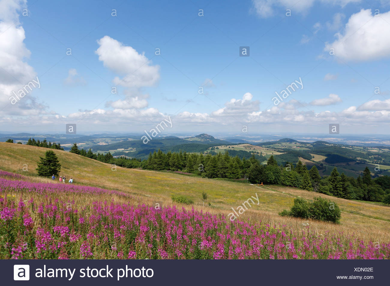 View from the Wasserkuppe plateau, lookin northwest, with the pink blossoms of Fireweed or Rosebay Willowherb (Epilobium angust Stock Photo