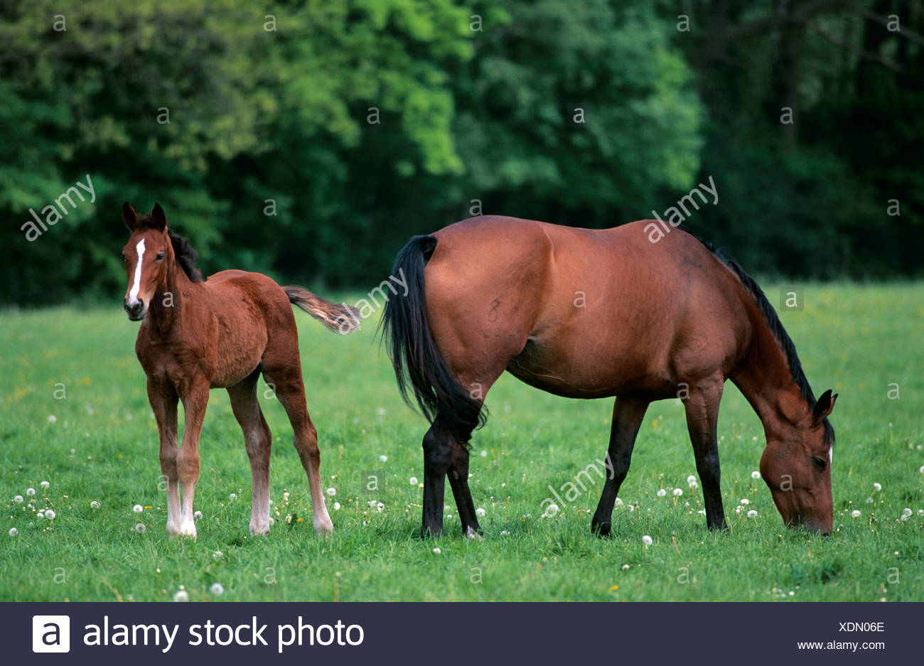Brown mare with foal, Lower Saxony, Germany, Europe - Stock Image