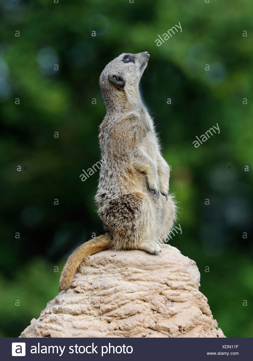 A meerkat looking upwards, things are looking up. - Stock Image