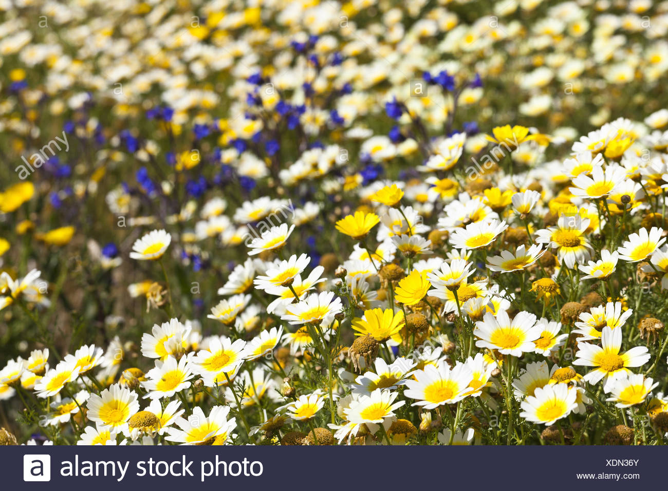 Aggregation of blossoming white-yellow margin rites in a field, - Stock Image